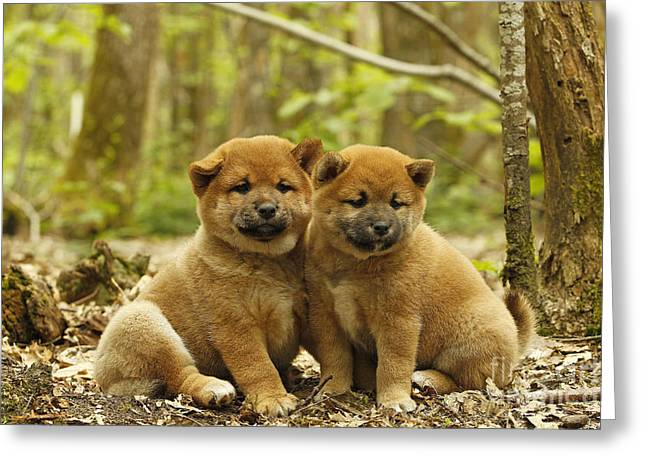 Japanese Puppy Greeting Cards - Shiba Inu Puppies Greeting Card by Jean-Michel Labat