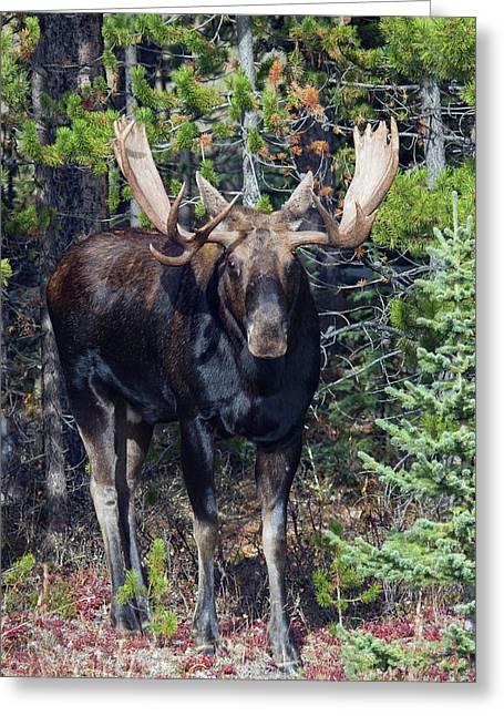 Shiras Bull Moose Greeting Card by Ken Archer