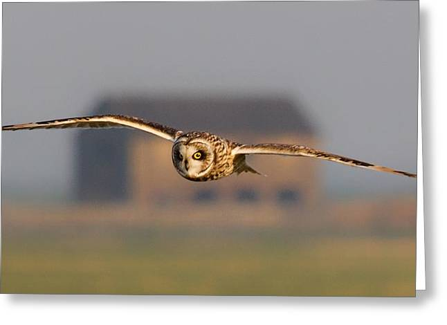 Hunting Bird Greeting Cards - Short Eared Owl Greeting Card by Ian Hufton