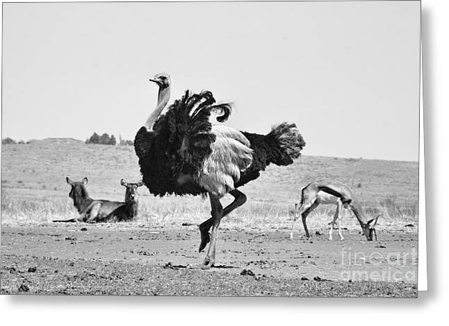 Ostrich Greeting Cards - Show-Off Greeting Card by Douglas Barnard