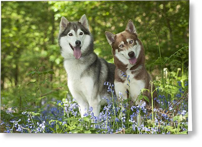 Huskies Greeting Cards - Siberian Huskies Greeting Card by John Daniels