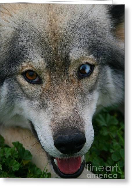 Huskies Mixed Media Greeting Cards - Siberian Husky Greeting Card by Michael Braham