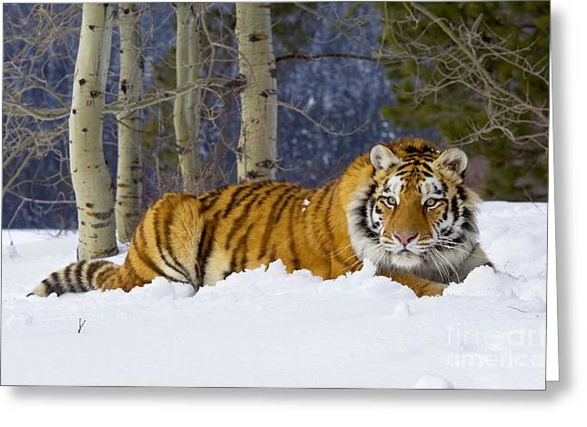 Critically Endangered Animal Greeting Cards - Siberian Tiger Greeting Card by Thomas and Pat Leeson