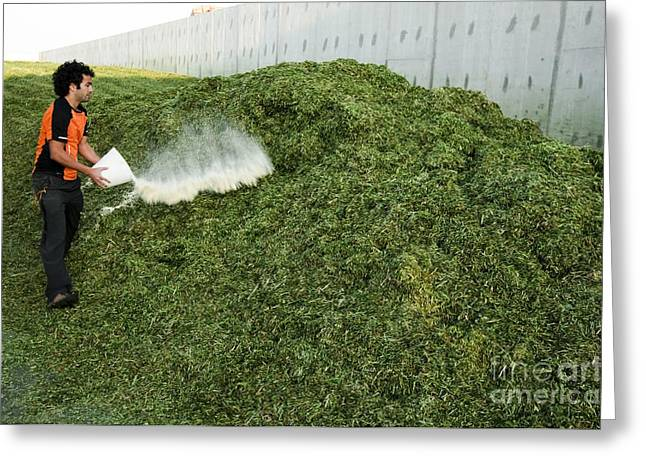 Fermentation Photographs Greeting Cards - Silage Fermentation Greeting Card by PhotoStock-Israel