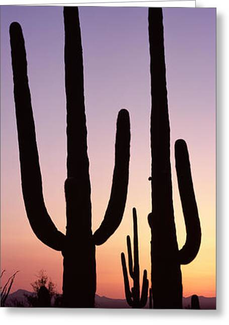 Panoramic Photography Greeting Cards - Silhouette Of Saguaro Cacti Carnegiea Greeting Card by Panoramic Images