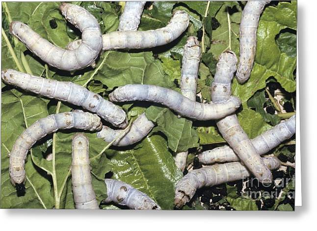 Eating Entomology Greeting Cards - Silkworms On Mulberry Leaves Greeting Card by Chris Hellier