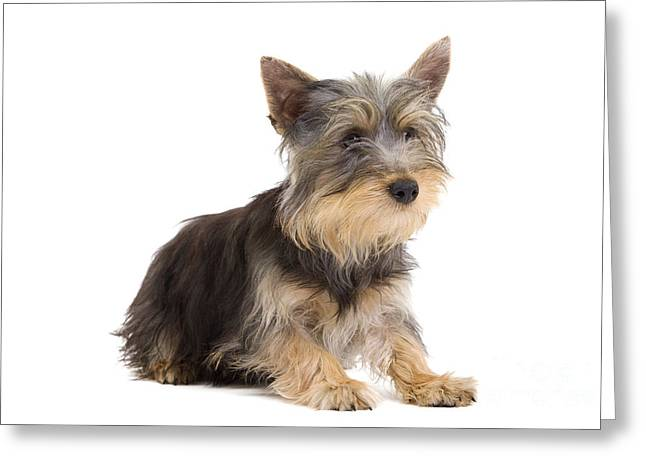 Toy Dog Greeting Cards - Silky Terrier Puppy Dog Greeting Card by Jean-Michel Labat