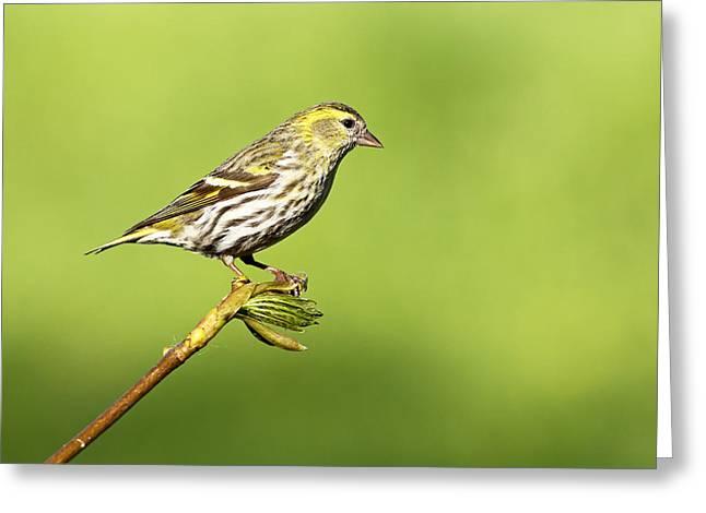 Bird Greeting Cards - Siskin Greeting Card by Grant Glendinning