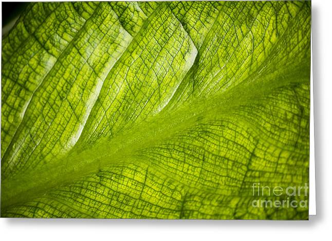 Backlit Greeting Cards - Skunk Cabbage Lysichiton Americanus Greeting Card by Dr. Keith Wheeler