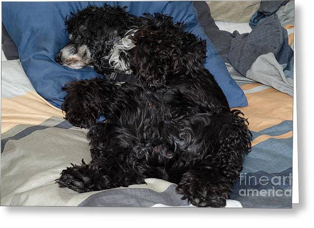 Tired On Bed Greeting Cards - Sleeping dog Greeting Card by Mats Silvan