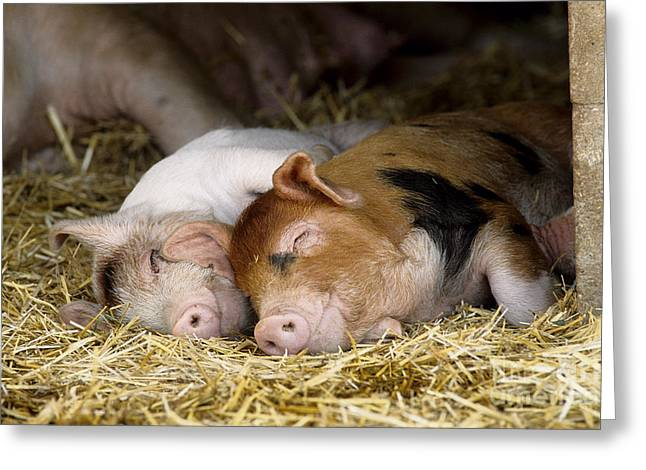 Pig Photographs Greeting Cards - Sleeping Hogs  Greeting Card by Inga Spence