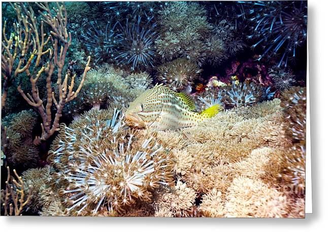 Pulsing Greeting Cards - Slender Grouper Fish On Soft Coral Greeting Card by Georgette Douwma