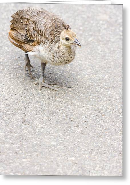Small Baby Peacock Roaming On Pavement Greeting Card by Jorgo Photography - Wall Art Gallery