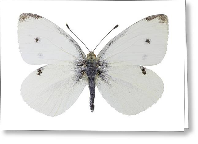 Pieris Rapae Greeting Cards - Small white butterfly Greeting Card by Science Photo Library