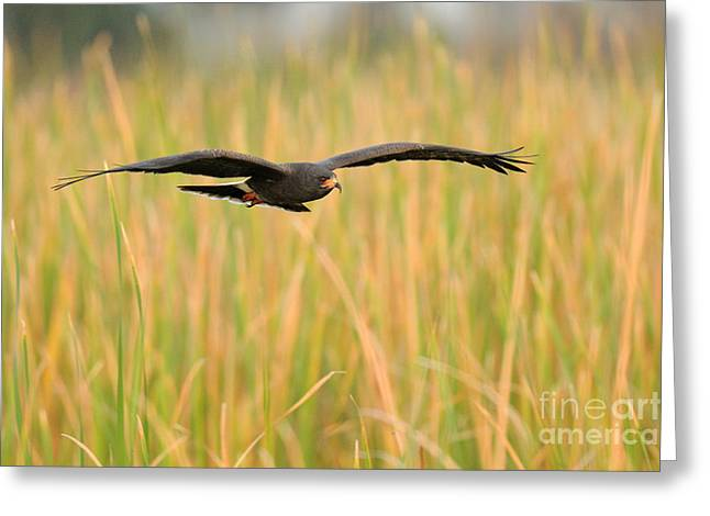 Kite Greeting Cards - Snail Kite Greeting Card by Scott Linstead