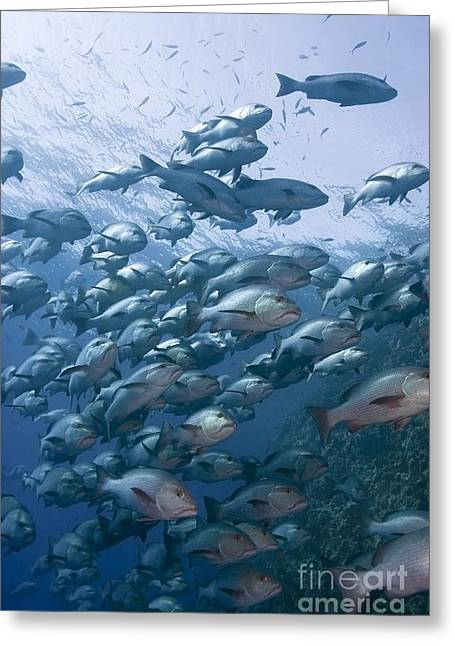 Eco System Greeting Cards - Snapper School Greeting Card by PhotoStock-Israel