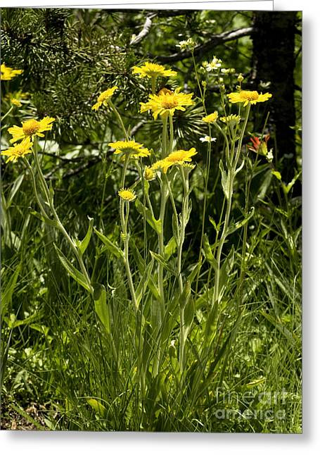 Sneezeweed Greeting Cards - Sneezeweed Dugaldia Hoopesii Greeting Card by Bob Gibbons