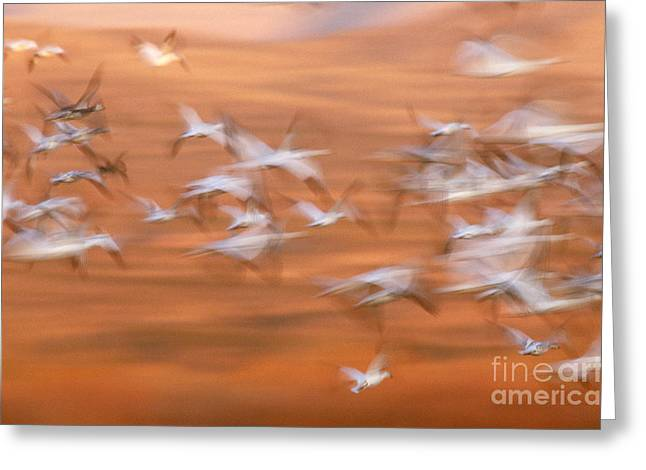 Water Fowl Greeting Cards - Snow Geese Chen Caerulescens In Flight Greeting Card by Art Wolfe