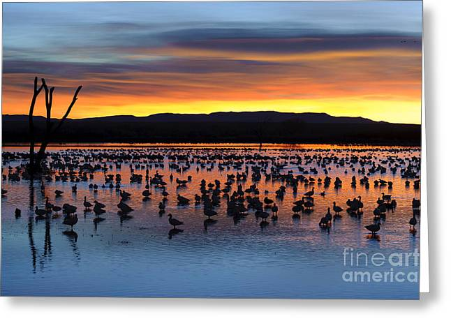 Nature Scene Greeting Cards - Snow Geese In Pond At Sunrise Greeting Card by John Shaw