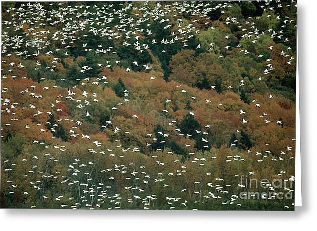 Water Fowl Greeting Cards - Snow Geese Greeting Card by James L. Amos