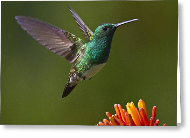 Hummingbirds Greeting Cards - Snowy-bellied Hummingbird Greeting Card by Heiko Koehrer-Wagner