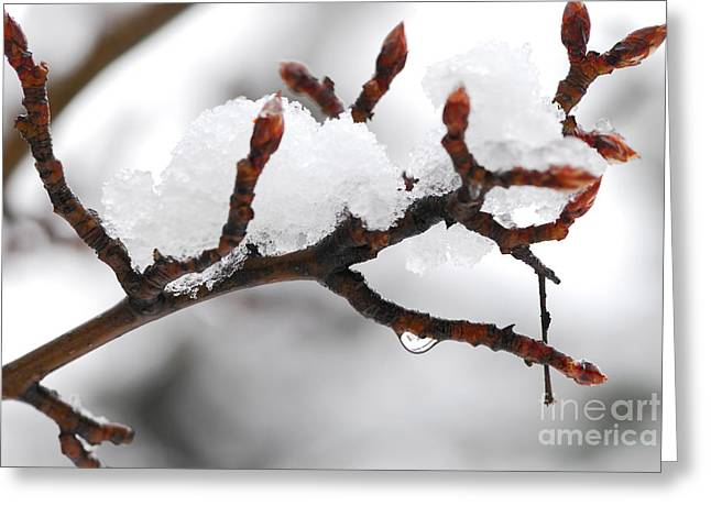 Drop Greeting Cards - Snowy branch Greeting Card by Elena Elisseeva