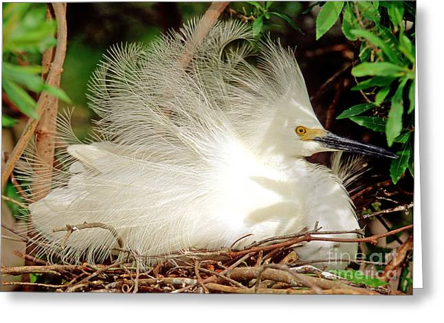 Egretta Thula Greeting Cards - Snowy Egret Egretta Thula Greeting Card by Millard H. Sharp