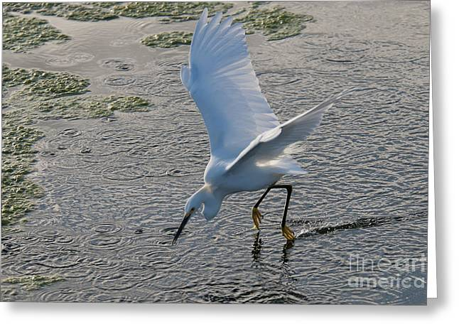 Egretta Thula Greeting Cards - Snowy Egret Greeting Card by Mark Newman