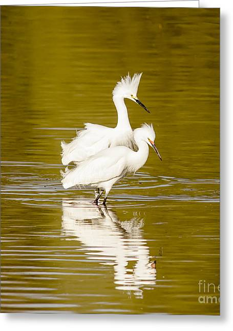 Cabin Window Greeting Cards - Snowy Egrets Greeting Card by Robert Frederick