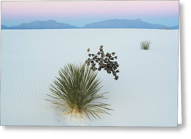 Soaptree Yucca Yucca Elata In Dawn Greeting Card by Panoramic Images