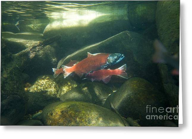 Salmonid Greeting Cards - Sockeye Salmon Spawning Greeting Card by William H. Mullins