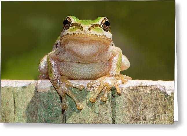 Pacific Tree Frog Greeting Cards - Someone Watching Over Me Greeting Card by Mimi Ditchie