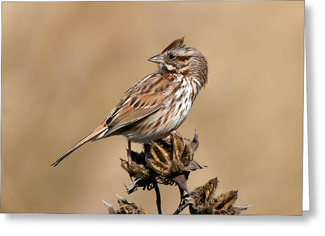 Song Sparrow Greeting Card by Rich Leighton