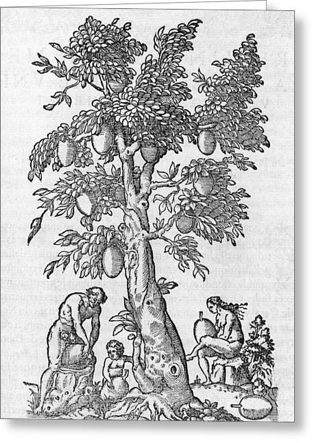 Human Tree Greeting Cards - South American tree, 16th century Greeting Card by Science Photo Library