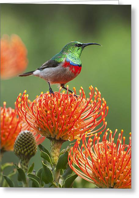 Pincushion Greeting Cards - Southern Double-collared Sunbird Greeting Card by Kevin Schafer