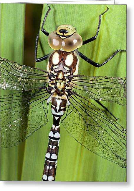 Southern Hawker Dragonfly Greeting Card by Bob Gibbons