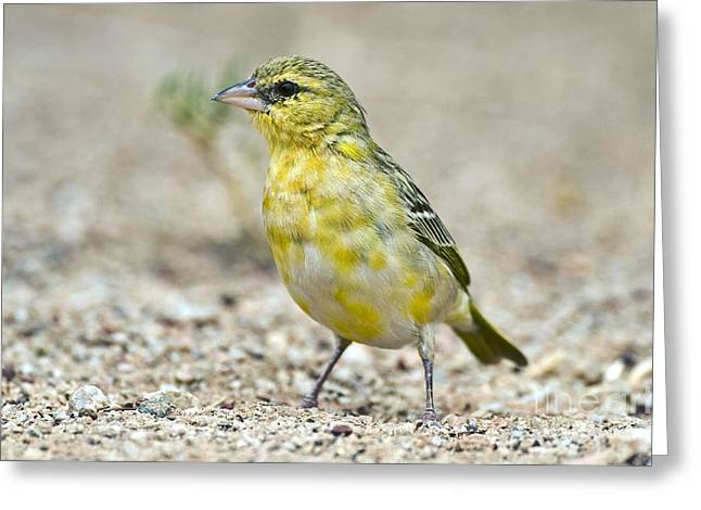 Northern Africa Greeting Cards - Southern Masked Weaver Greeting Card by Peter Chadwick