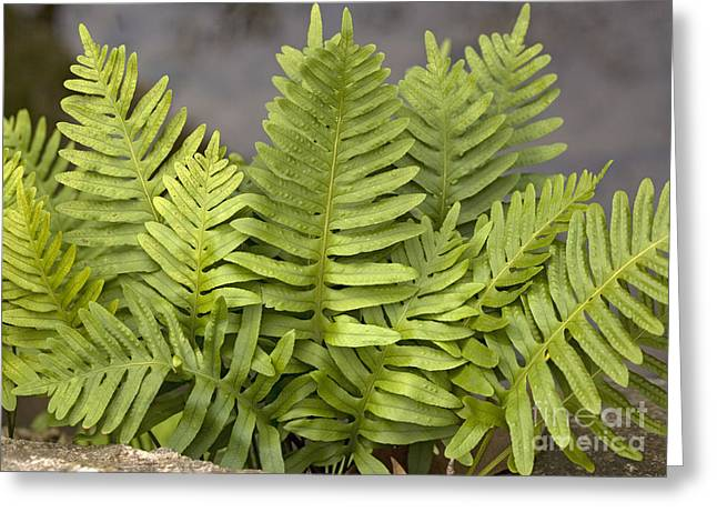 Epiphyte Greeting Cards - Southern Polypody Polypodium Australe Greeting Card by Bob Gibbons
