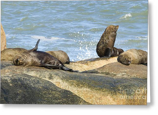 Southern Sea Lions Greeting Card by William H. Mullins