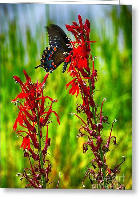 Spicebush Swallowtail Greeting Cards - Spicebush Swallowtail on Cardinal Flower Greeting Card by Thomas R Fletcher