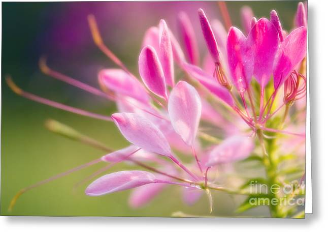 Cleome Flower Greeting Cards - Spider Flower Cleome Hassleriana Greeting Card by Maria Mosolova