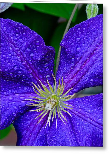 Spider Flower Greeting Cards - Spider Flower Greeting Card by Frozen in Time Fine Art Photography