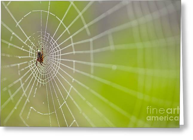 Predaceous Greeting Cards - Spider web with dew drops with spider on web Greeting Card by Jim Corwin