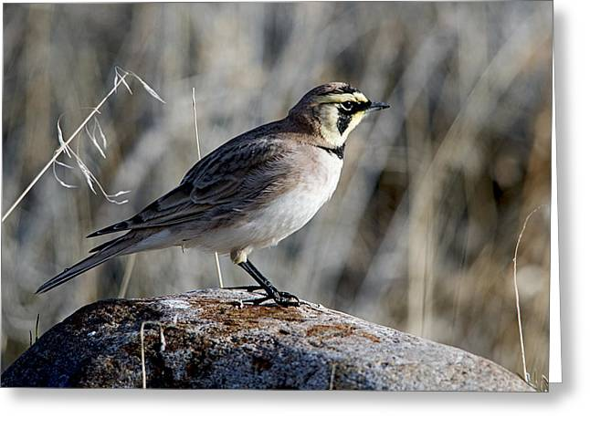 Horned Larks Greeting Cards - Spot Light Greeting Card by Eric  Nelson