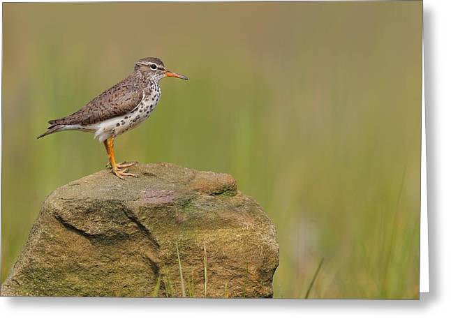 Spotted Sandpiper Greeting Card by Daniel Behm
