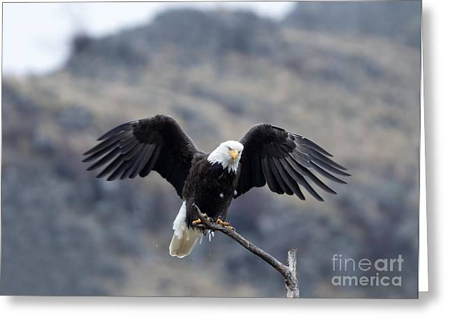 American Bald Eagle Greeting Cards - Spread Your Wings Greeting Card by Mike Dawson