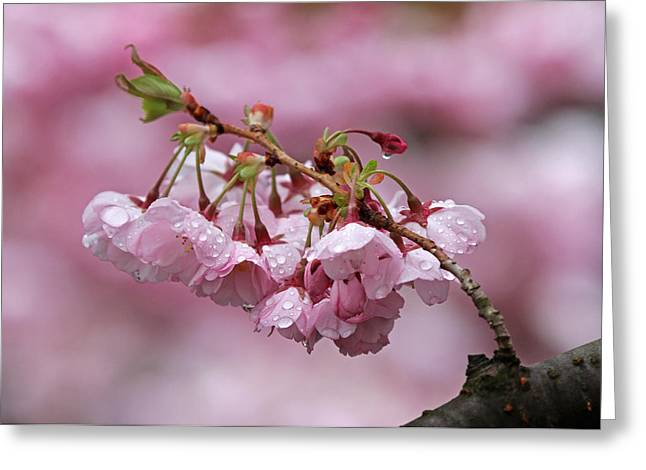 Floral Pictures Greeting Cards - Spring Blossoms Greeting Card by Juergen Roth