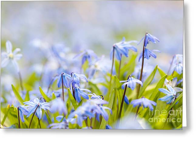 Early Spring Greeting Cards - Spring blue flowers  Greeting Card by Elena Elisseeva