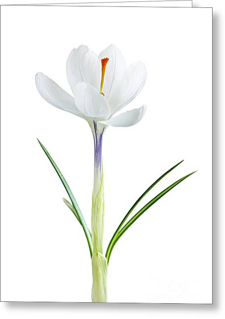 Shoot Greeting Cards - Spring crocus flower Greeting Card by Elena Elisseeva