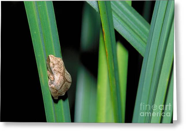 Leaf Peepers Greeting Cards - Spring Peeper Frog Greeting Card by Larry West